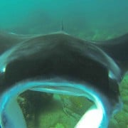 manta ray at cook island kingscliff nsw watersports guru