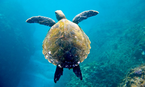Big Turtles