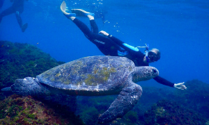 Snorkelling with Turtles Gold Coast